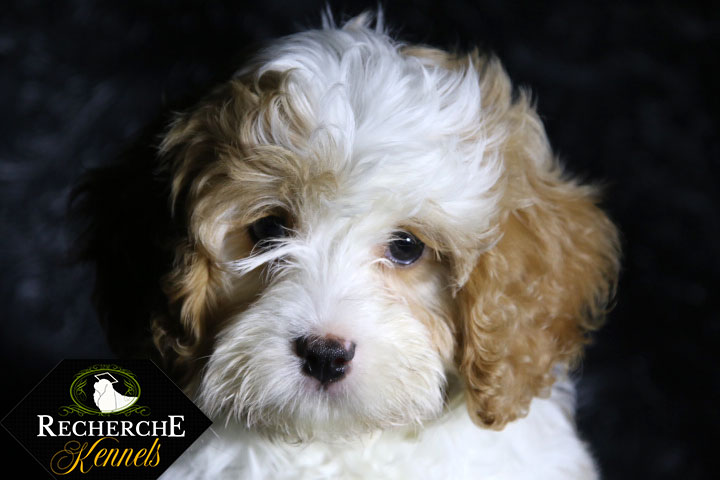 The Cavapoo Cavalier King Charles Spaniel X Poodle