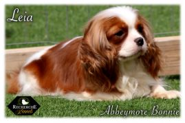 Available Fully Trained Cavalier King Charles Cavapoo Puppies