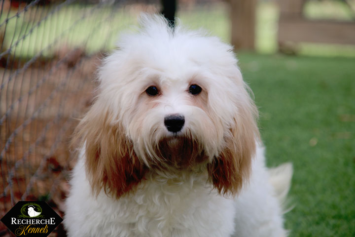 The Cavapoo- Cavalier King Charles Spaniel x Poodle
