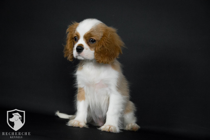 Cavapoo Puppies For Sale In Alabama