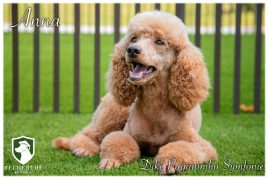 Trained Cavalier King Charles Spaniels and Cavapoo Puppies