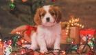 Cavalier_Christmas